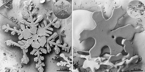 A freshly fallen snow crystal has numerous facets to reflect sunlight (left). Warming causes the grains to round at the edges and clump together (right). Scanning electron microscope photos courtesy the Electron and Confocal Microscopy Laboratory, USDA Agricultural Research Service.