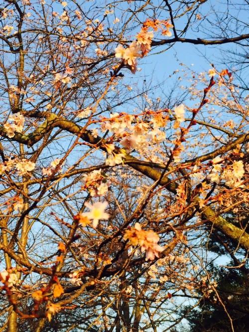 cherry_spring-941x1254