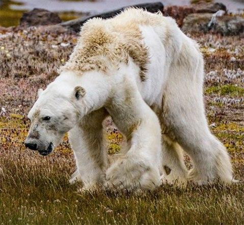 polarbearstarve