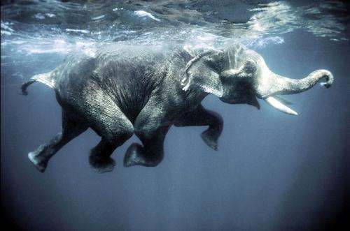 Elephantswim